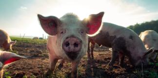 Pork Piggery